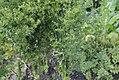 Apium graveolens - 1.jpg