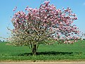 Apple tree in blossom - geograph.org.uk - 407616.jpg