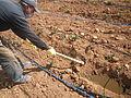 Application produits ecosan (digestat) à Dayet Ifrah, Maroc (12084910064).jpg