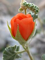 Apricot globemallow (Sphaeralcea ambigua); Cleghorn Wilderness (12525659715).jpg