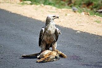 Tawny eagle - Image: Aquila rapax Ethiopia with roadkill 8
