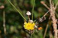 Araignées, insectes et fleurs de la forêt de Moulière (Les Chirons Noirs) (28968103361).jpg