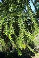 Araucaria bidwillii - Jardín Botánico de Barcelona - Barcelona, Spain - DSC08928.JPG