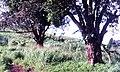 Arbres mont mbankolo yaoundé.jpg