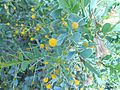 Arbusto mimosaceo.jpg