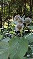 Arctium tomentosum Podkomorské lesy.jpg