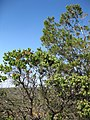 Arctostaphylos species and Cupressus forbesii at Coal Canyon-Sierra Peak, Orange County (18).jpg