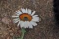 Arctotis-fastuosa - Cape daisy IMG-5574.jpg
