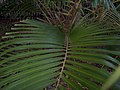 Arengacaudatafoliage.JPG