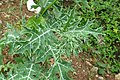 Argemone mexicana - Mexican Prickly Poppy - at Beechanahalli 2014 (5).jpg