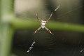 Argiope pulchella-Kadavoor-2016-03-25-001.jpg