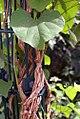 Aristolochia gigantea 7zz.jpg