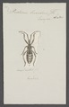 Arma - Print - Iconographia Zoologica - Special Collections University of Amsterdam - UBAINV0274 040 02 0006.tif