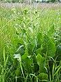 Armoracia rusticana Chrzan pospolity 2020-06-07 01.jpg