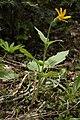 Arnica cordifolia 4634.JPG