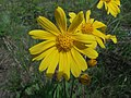Arnica lonchophylla.jpg