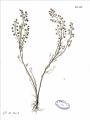 Artemisia anethifolia.png