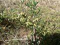 Artemisia campestris subsp. maritima (8).jpg