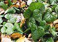 Asarum caudatum (wild ginger) - Flickr - brewbooks.jpg