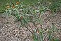 Asclepias curassavica 28zz.jpg