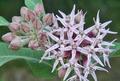 Asclepias speciosa at Peshastin Pinnacles State Park Chelan County Washington 3.png