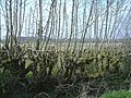 Ash hedge - geograph.org.uk - 392352.jpg