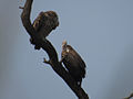Asian White-rumped Vulture pair in forest.jpg