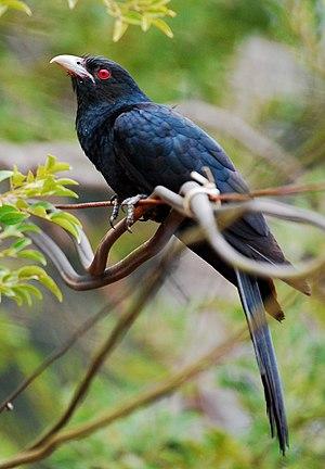 Asian Koel Eudynamys scolopaceus shot at chala...