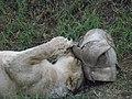 Asiatic Lioness 08.jpg
