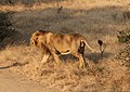 Asiatic lion 05.jpg