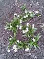 Asparagales - Leucojum vernum 3 - 2011.03.29.jpg