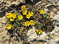 Astericus maritimus 5 (Espagne).JPG