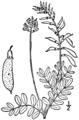 Astragalus robbinsii BB-1913.png