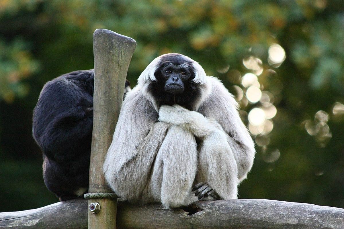 pileated gibbon wikipedia