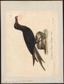Atagen aquilus - 1825-1834 - Print - Iconographia Zoologica - Special Collections University of Amsterdam - UBA01 IZ18000185.tif