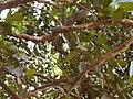 Atalantia racemosa Wight ex Hook. (6958799763).jpg