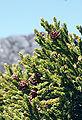 Athrotaxis selaginoides foliagecones.jpg