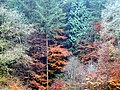 Autumn trees, Polecat, Shottermill.jpg