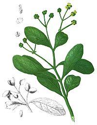 Avicennia officinalis Blanco1.73-cropped