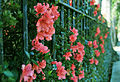 Azaleas on an Iron Fence (3253548497).jpg