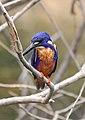 Azure kingfisher, Kakadu National Park.jpg