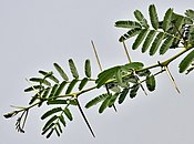 Babool (Acacia nilotica) leaves & spines at Hodal W IMG 1251.jpg