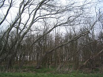 Dithmarschen - Wind influences tree growth