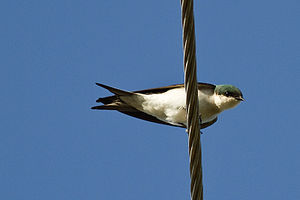 Bahama swallow - Image: Bahama Swallow