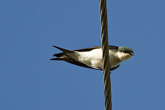 Swallow - The Bahama swallow is listed as an endangered species