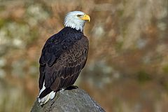Bald Eagle - natures pics.jpg