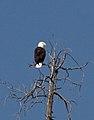 Bald Eagle 2 (8044994102).jpg