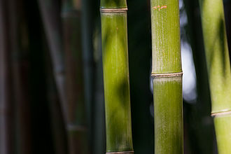 Bamboo - Closeup of bamboo stalk