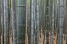 """Plein de """"troncs"""" de bambous bien verticaux."""