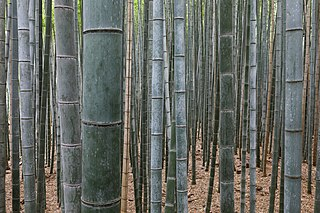 Bamboo Subfamily of flowering plants in the grass family Poaceae